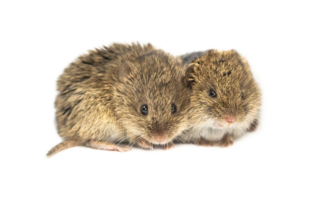 vole control your for yard in winter