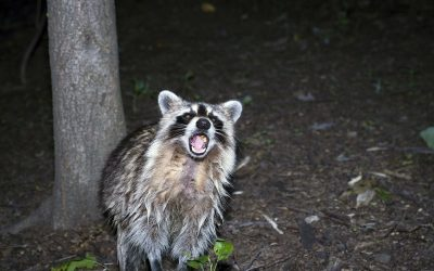 Are Raccoons Friendly?