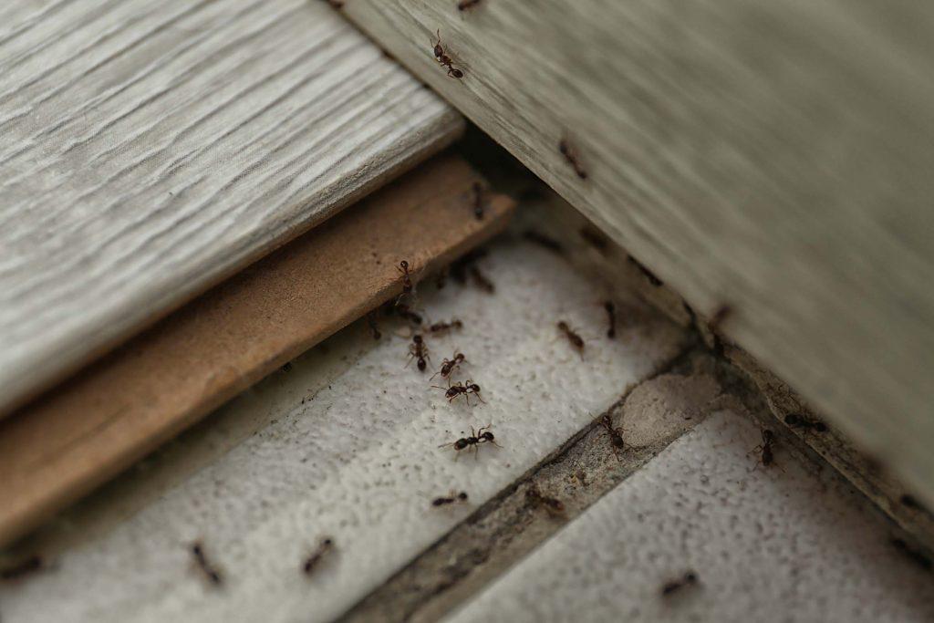 ant infestation under floor board