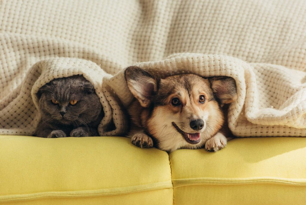 grey cat and corgi in a residential home