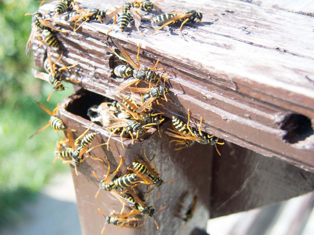 hornet colony on backyard gate