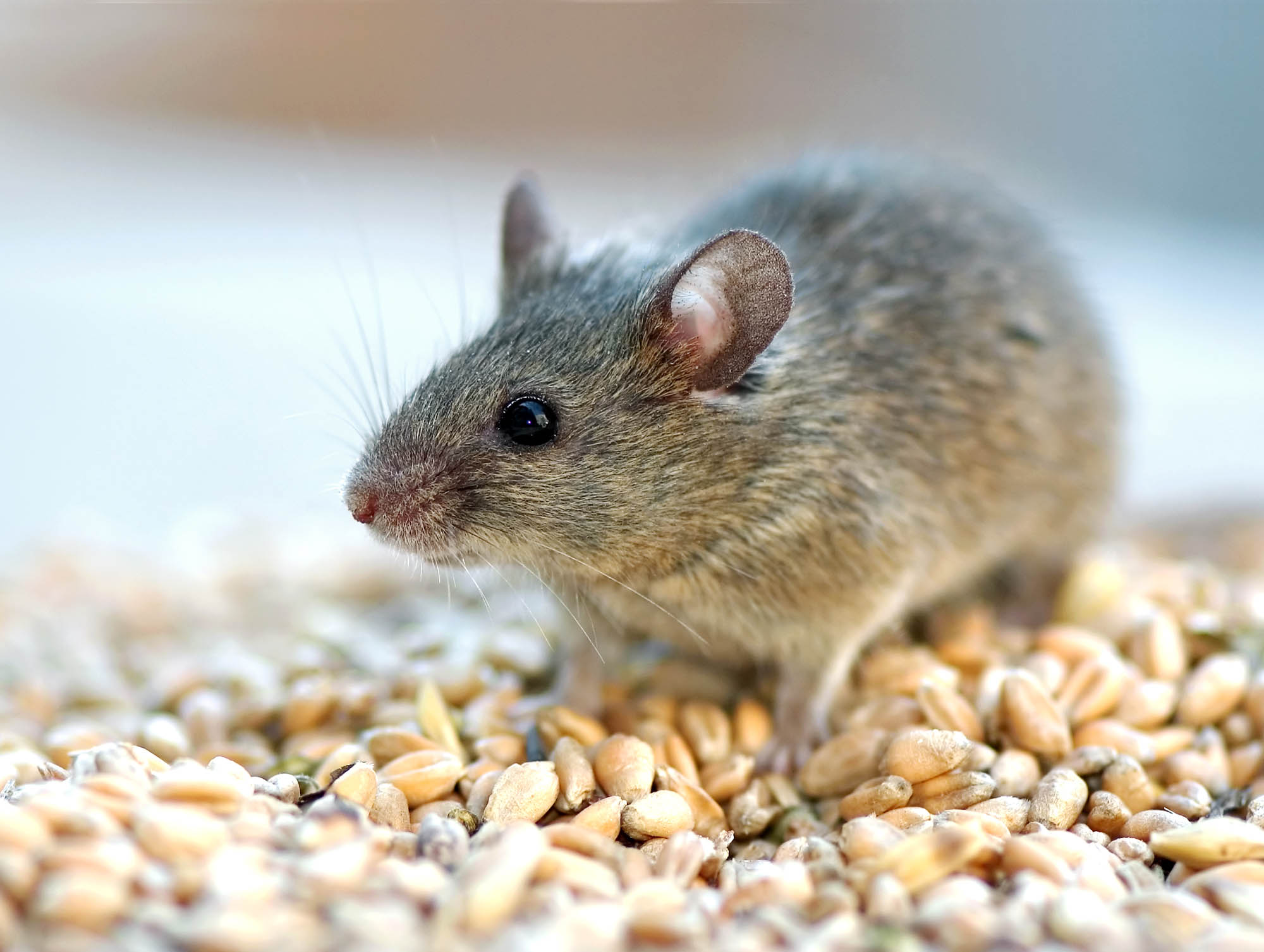house mouse on top of grains