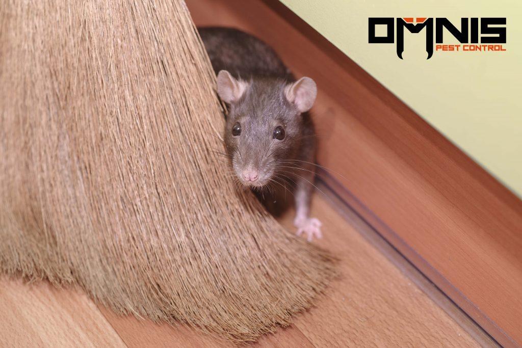 rat hiding behind broom in maintenance room