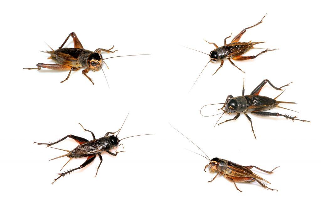 cricket control for Colorado