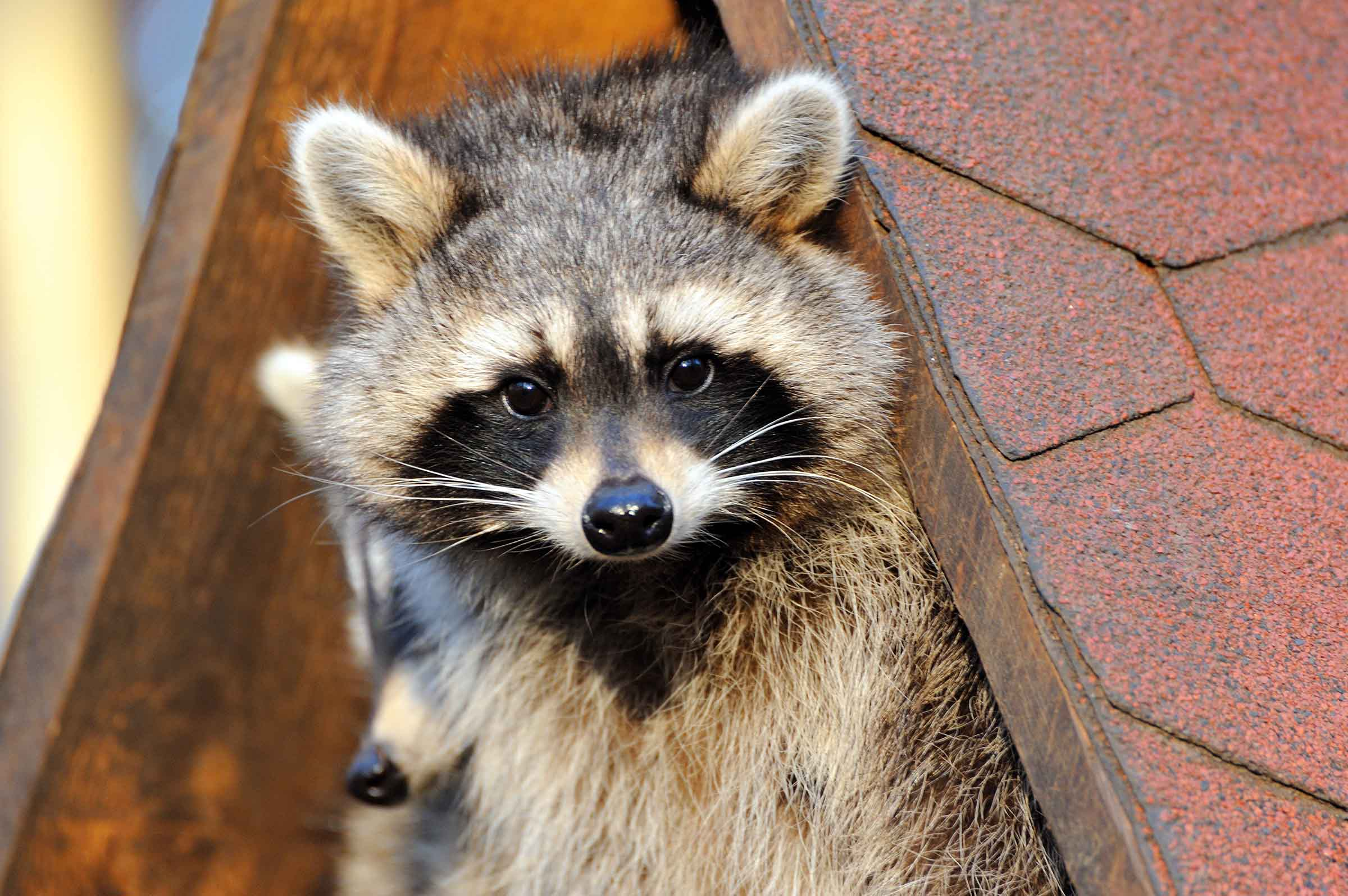 raccoons getting in as part of wildlife pest control