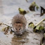 rat in rainy street