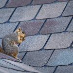 wild squirrel on roof
