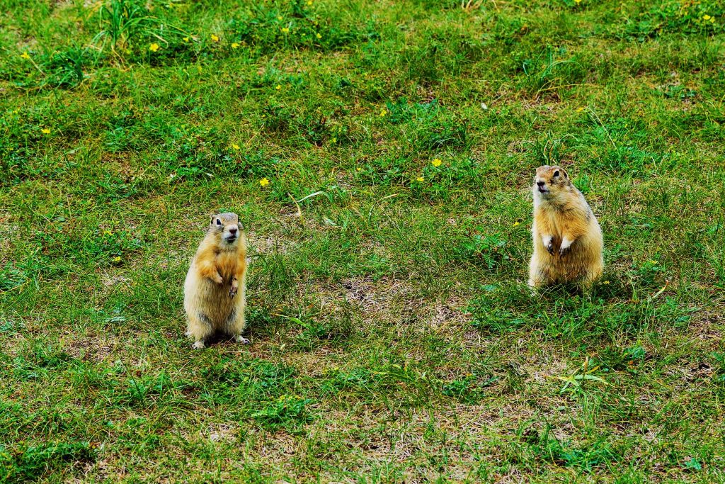 wildlife pest control experts for gophers