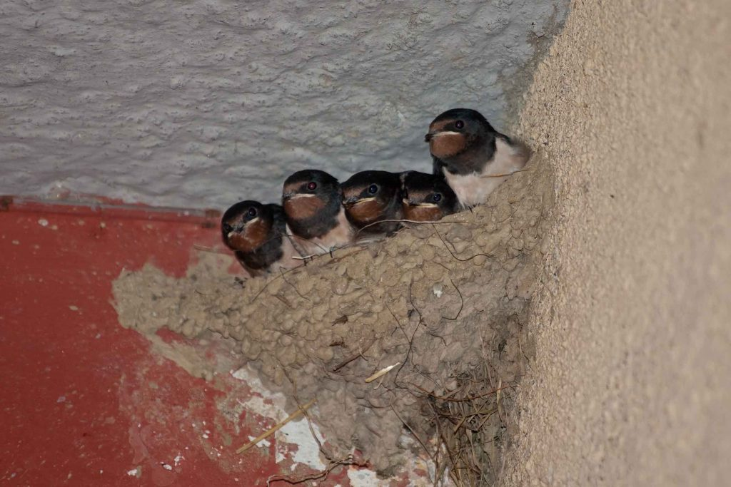 baby swallows nest inside residential property