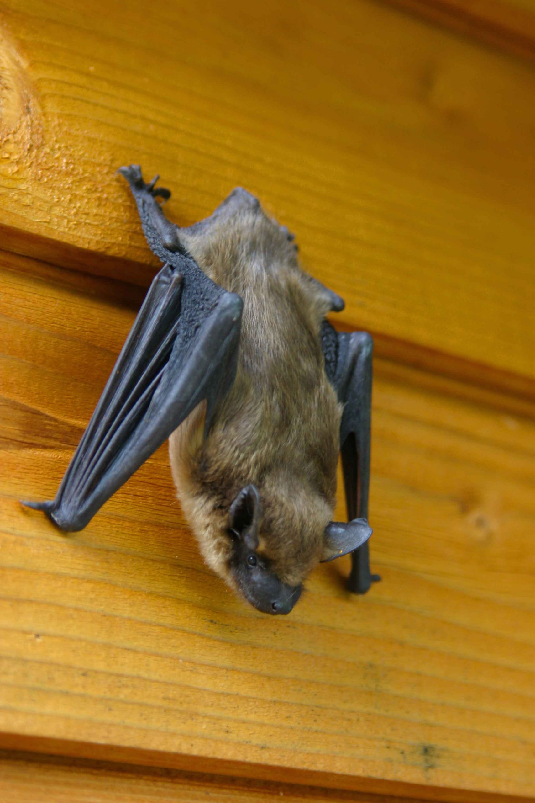 what repels bats from houses