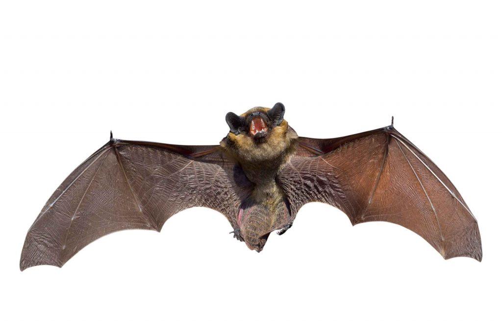 repelling bats control