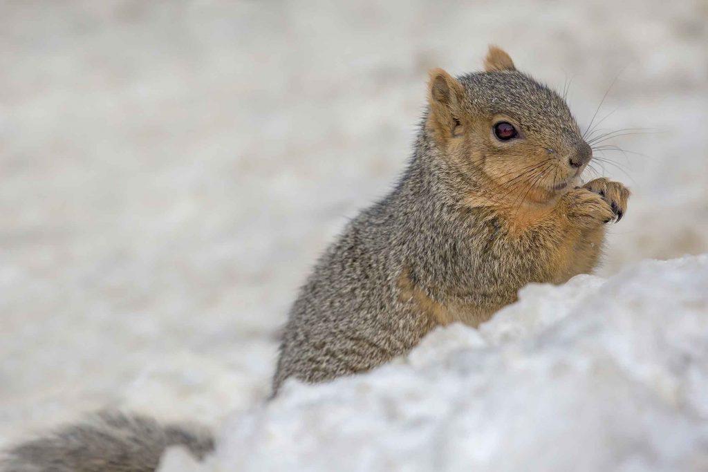 fox squirrel in snow