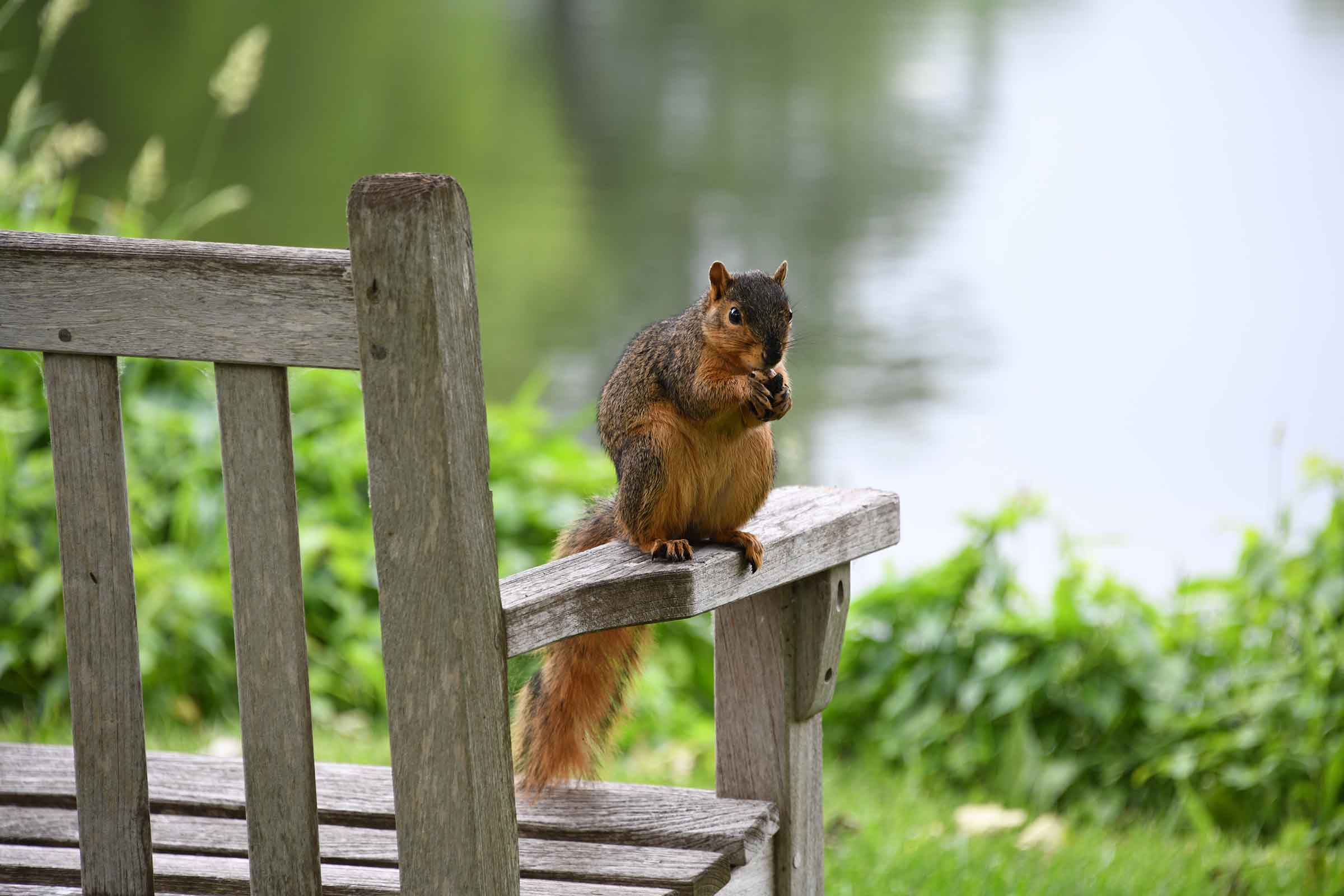 fox squirrel on bench