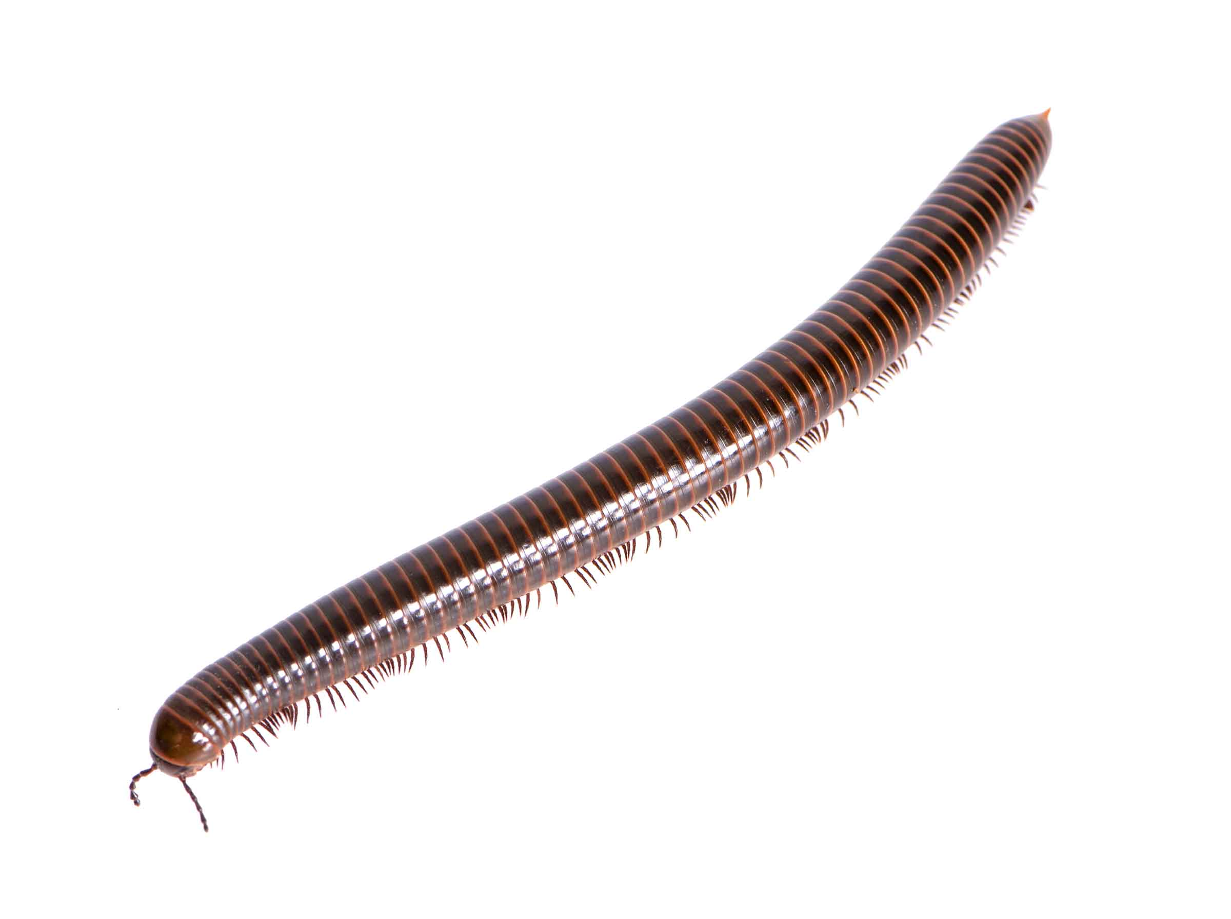 millipede on white background