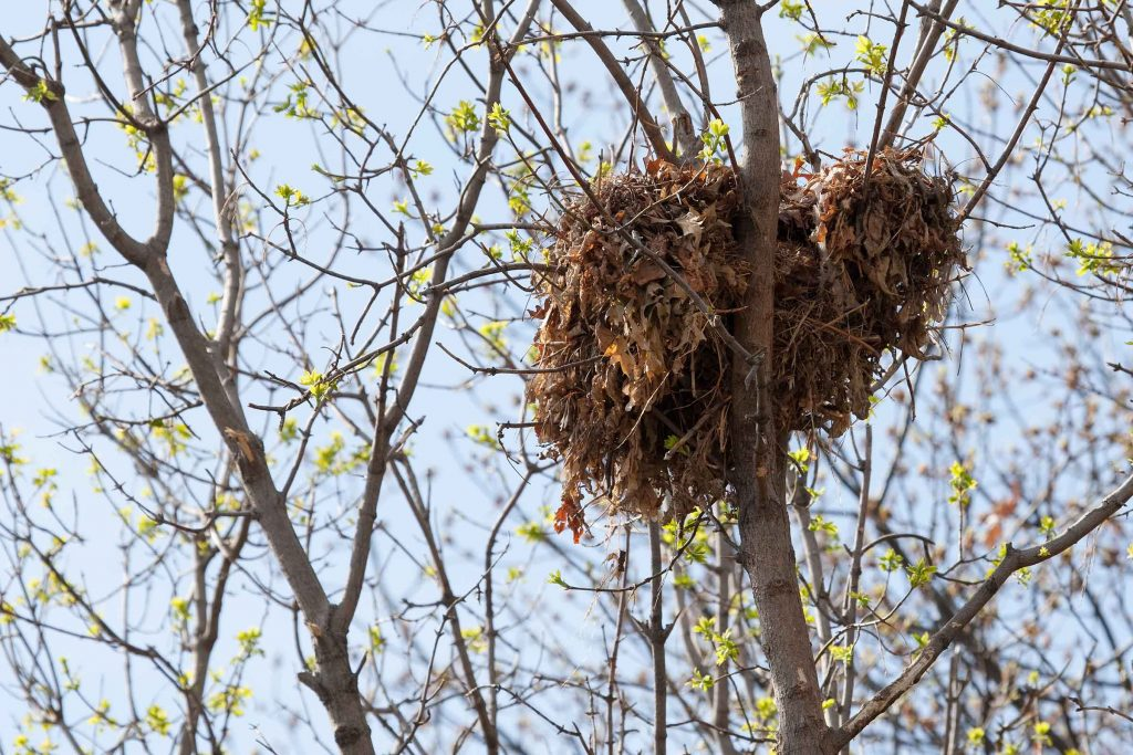 squirrel nest pest control removal near house