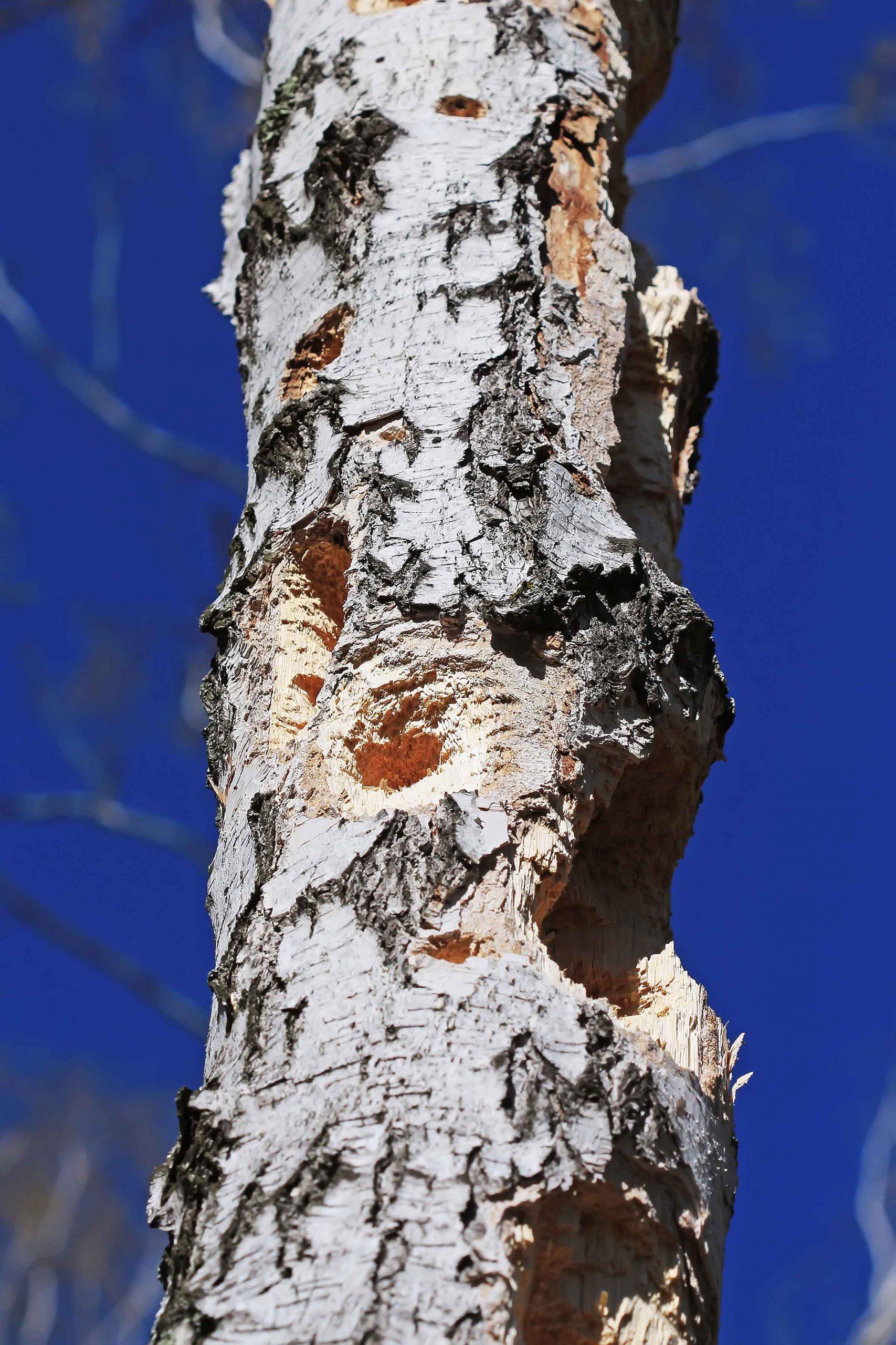 woodpecker holes in tree