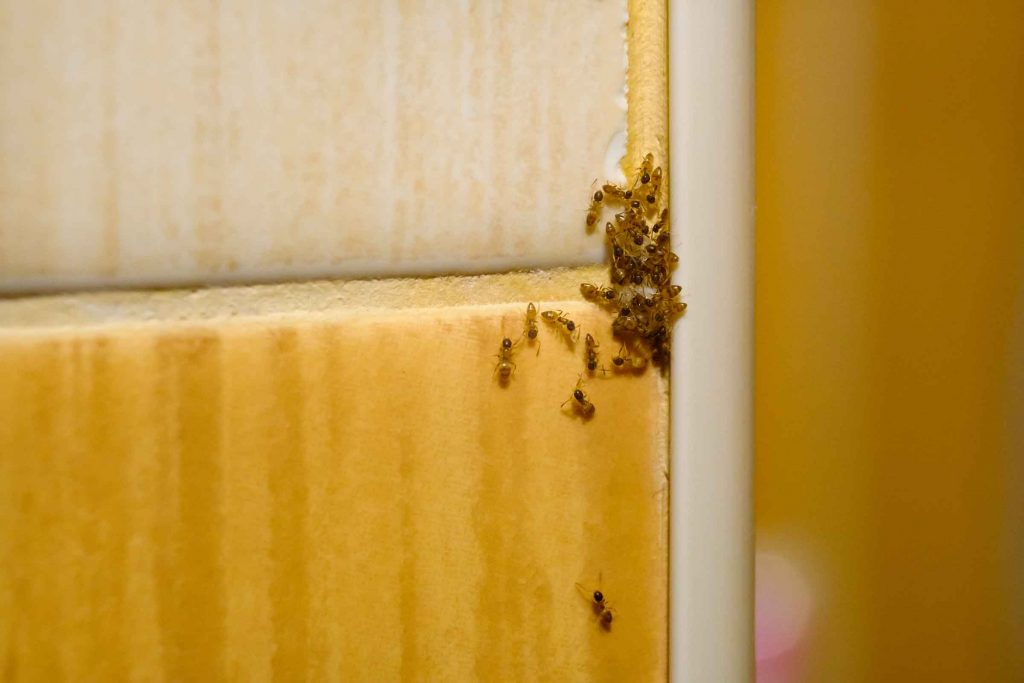 ant pest control for kitchens
