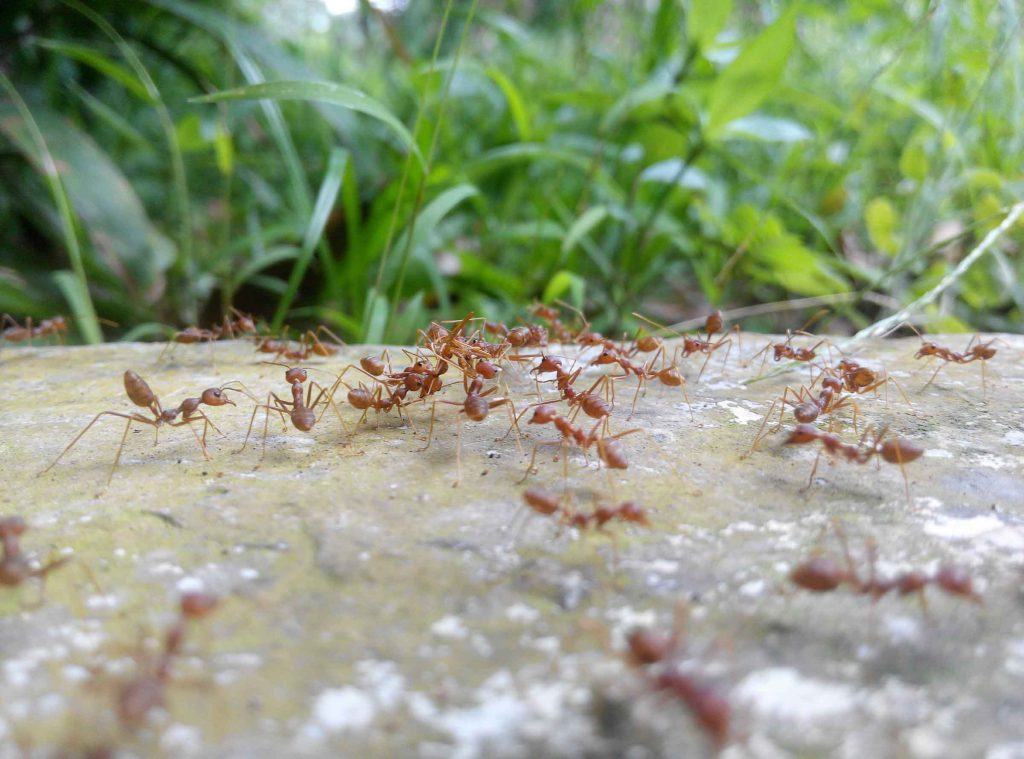 remove ants from your sidewalk with OMNIS general pest control services