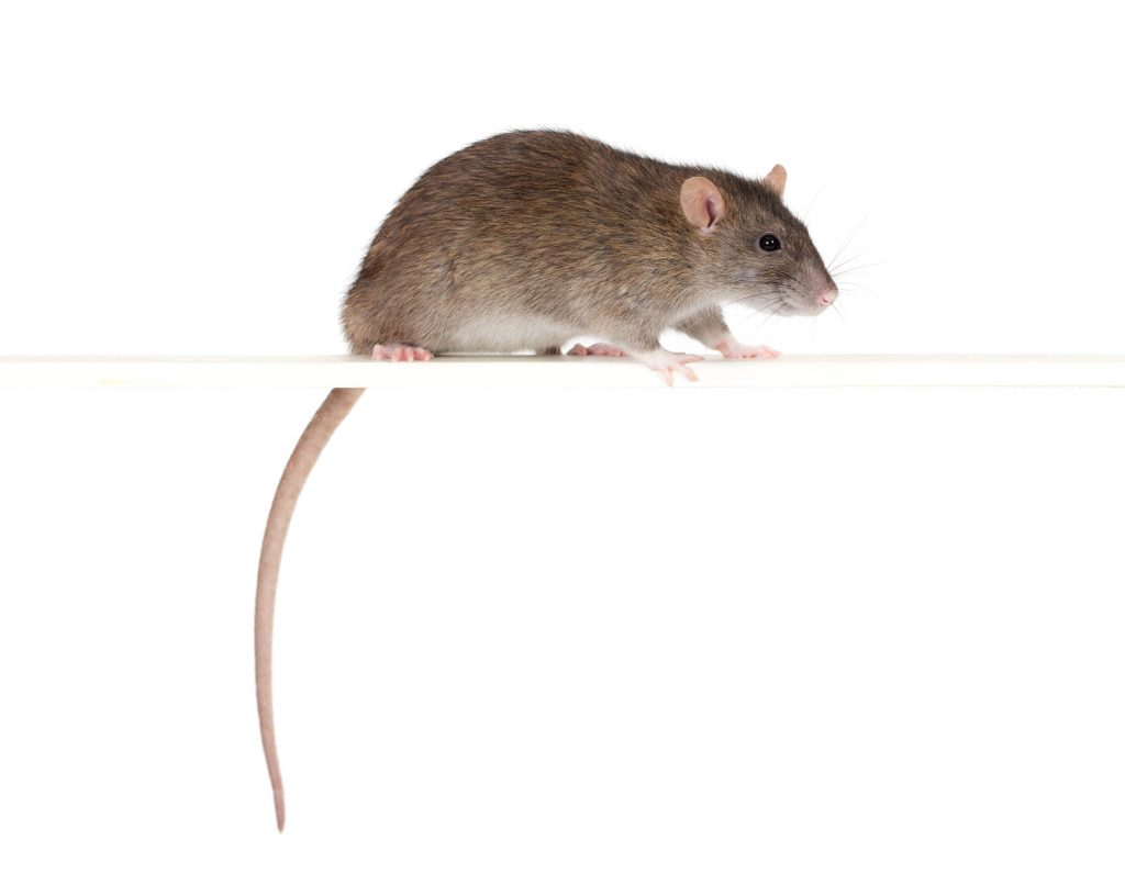 rat control from OMNIS
