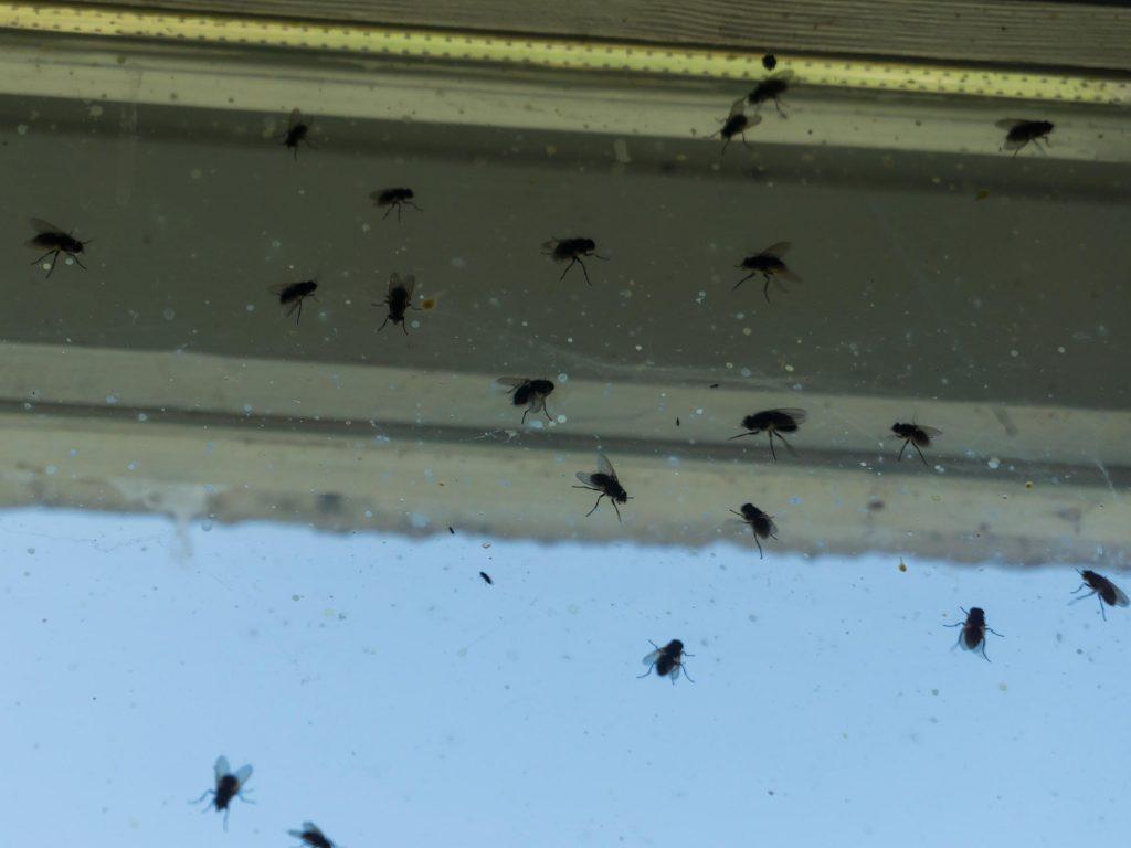 OMNIS removes house flies