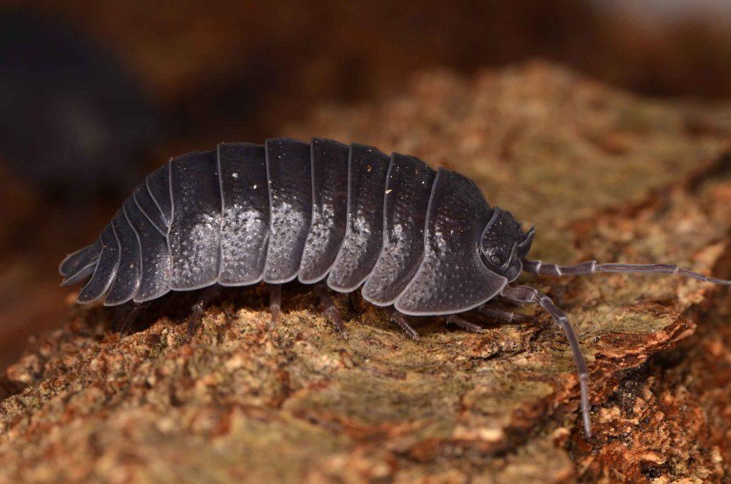 pill bug walking on a rock