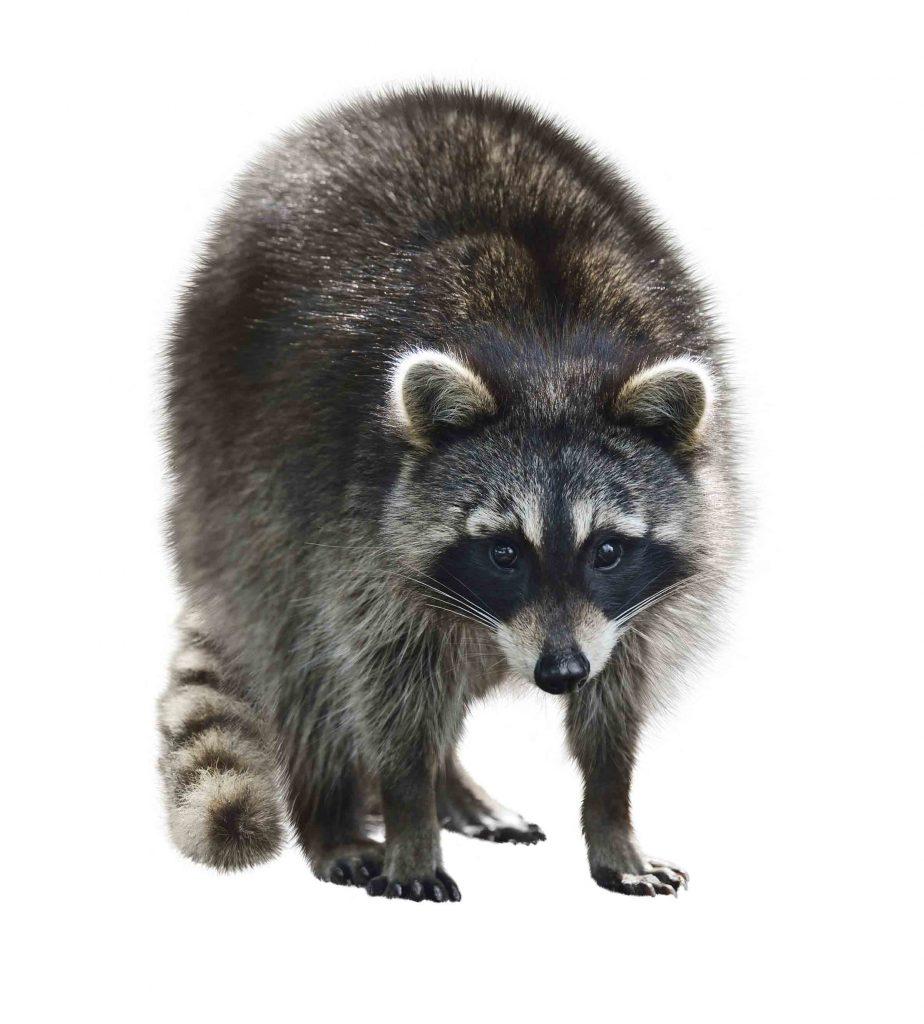 raccoon looking straight forward