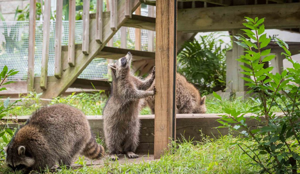 raccoons in backyard