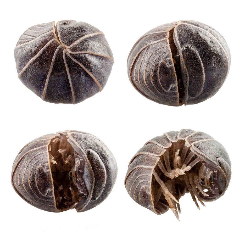 pill bug pest control