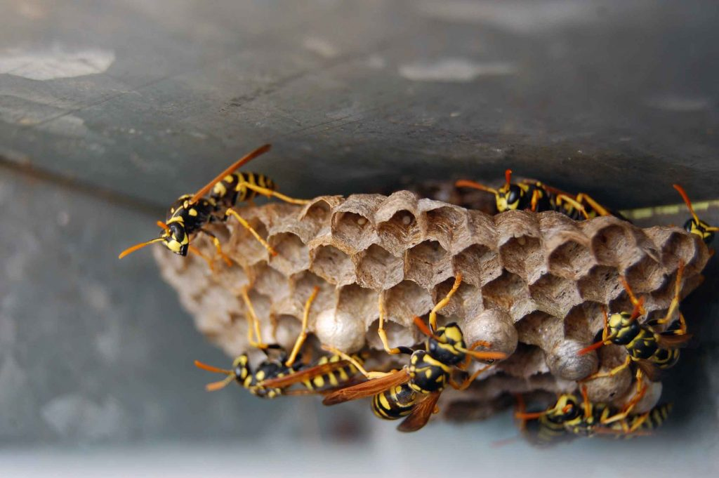 wasp nest removal OMNIS