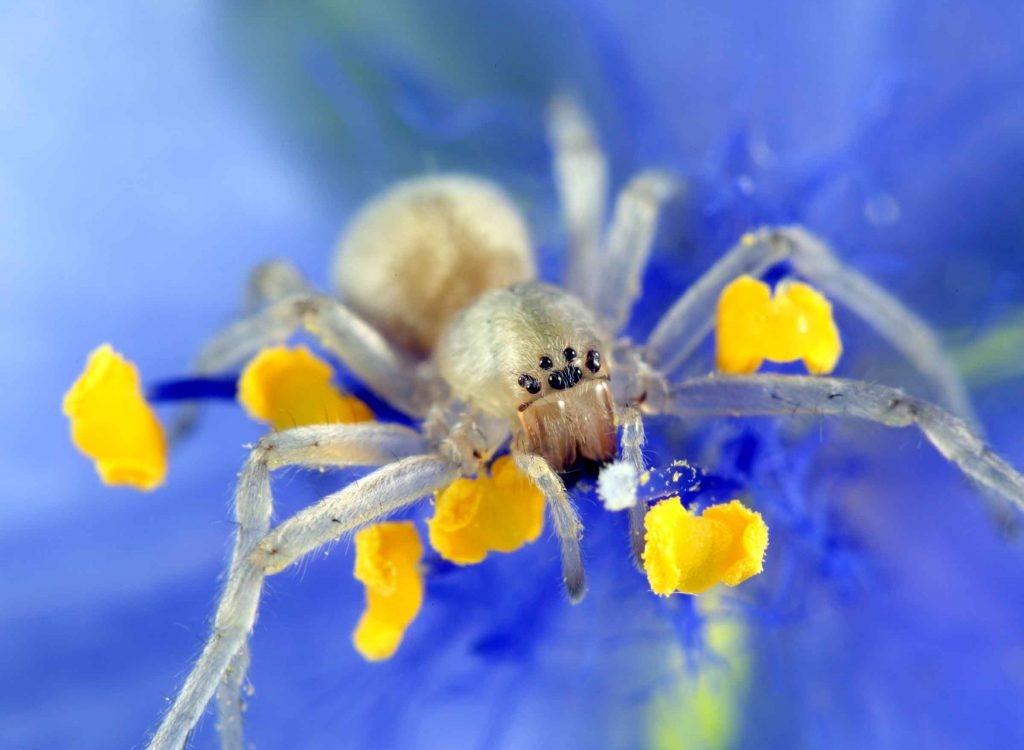 Yellow Sac Spider removal for general pest control