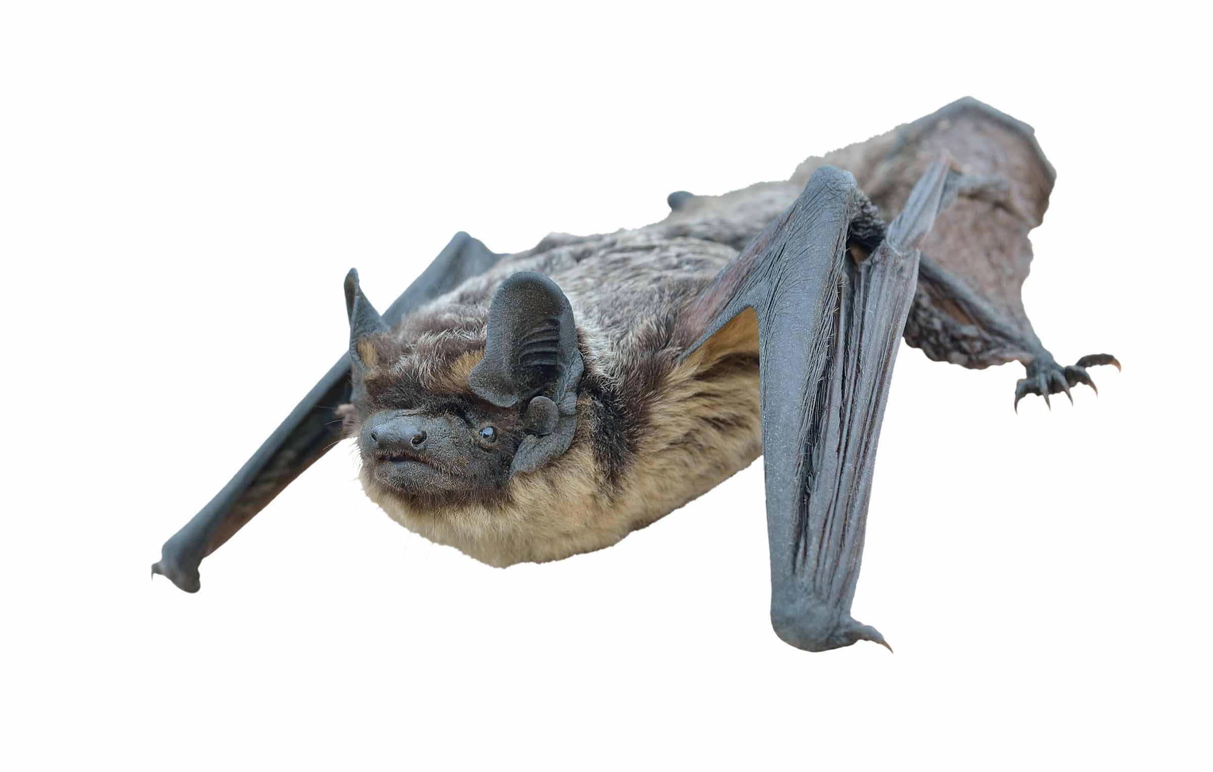 bat removal for possible rabies