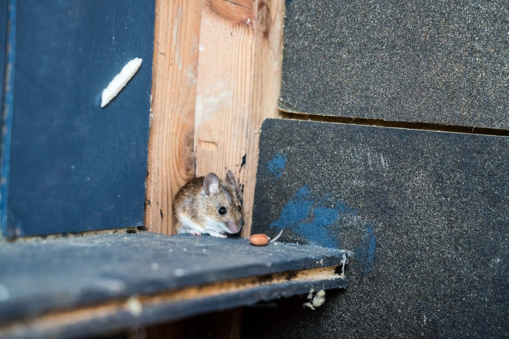 deer mouse control necessary outside house