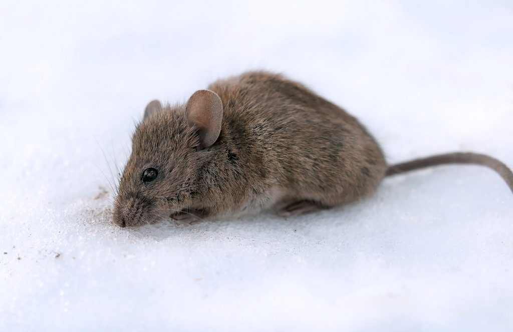 house mouse in the snow