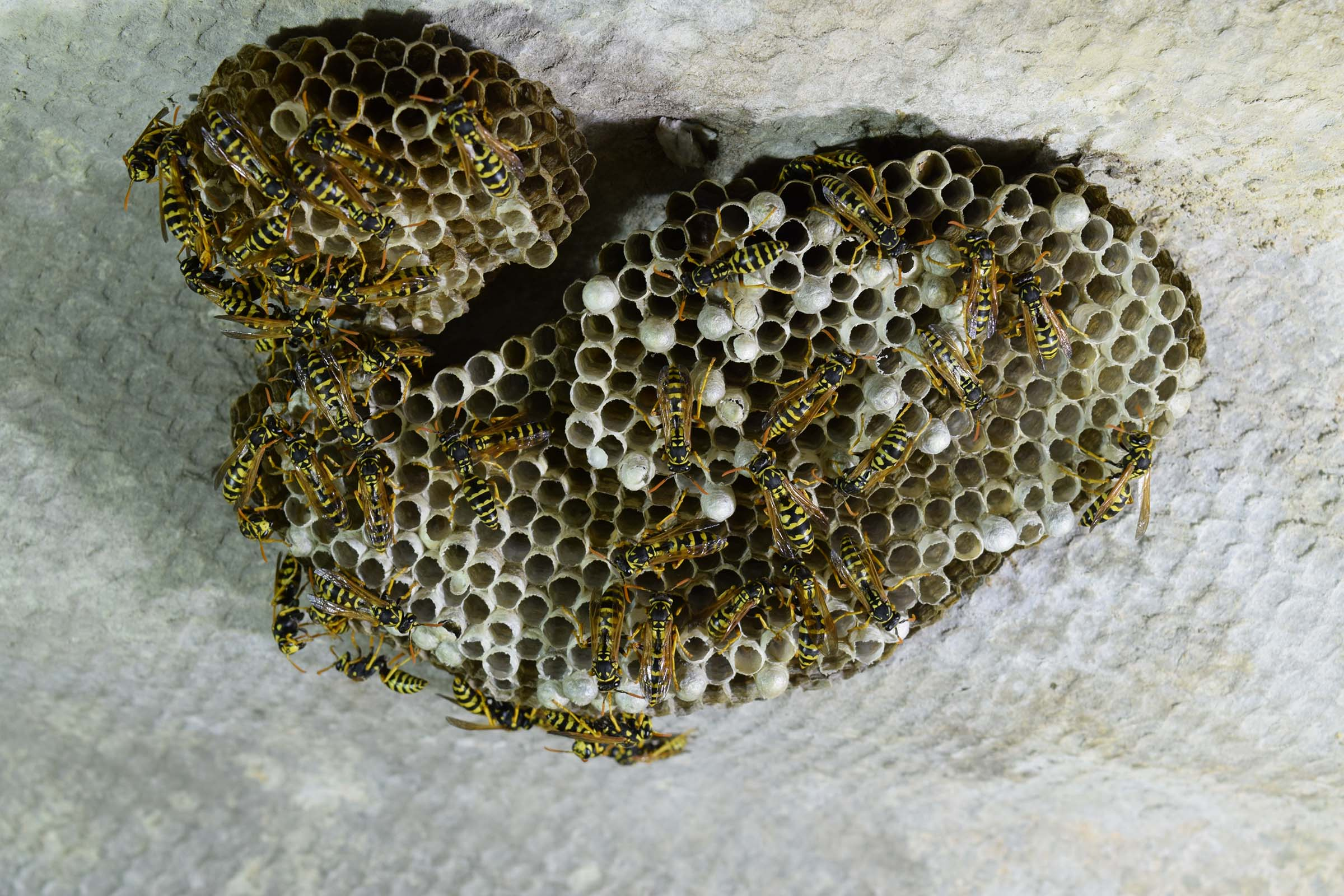 large colony yellow jacket nest removal