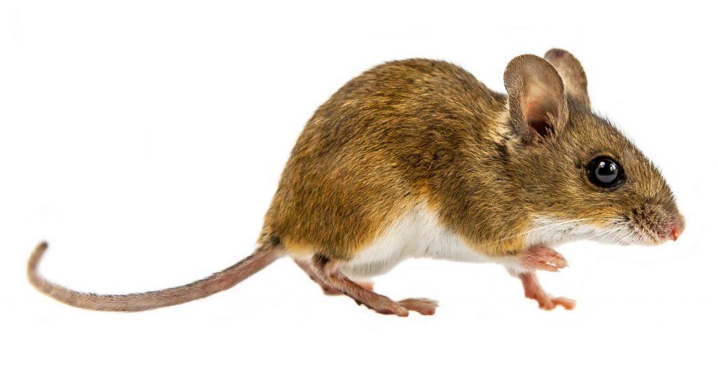 deer mouse pest control threat
