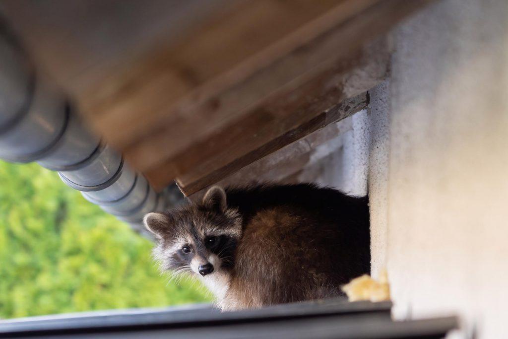 castle rock wild life raccoon control attic access