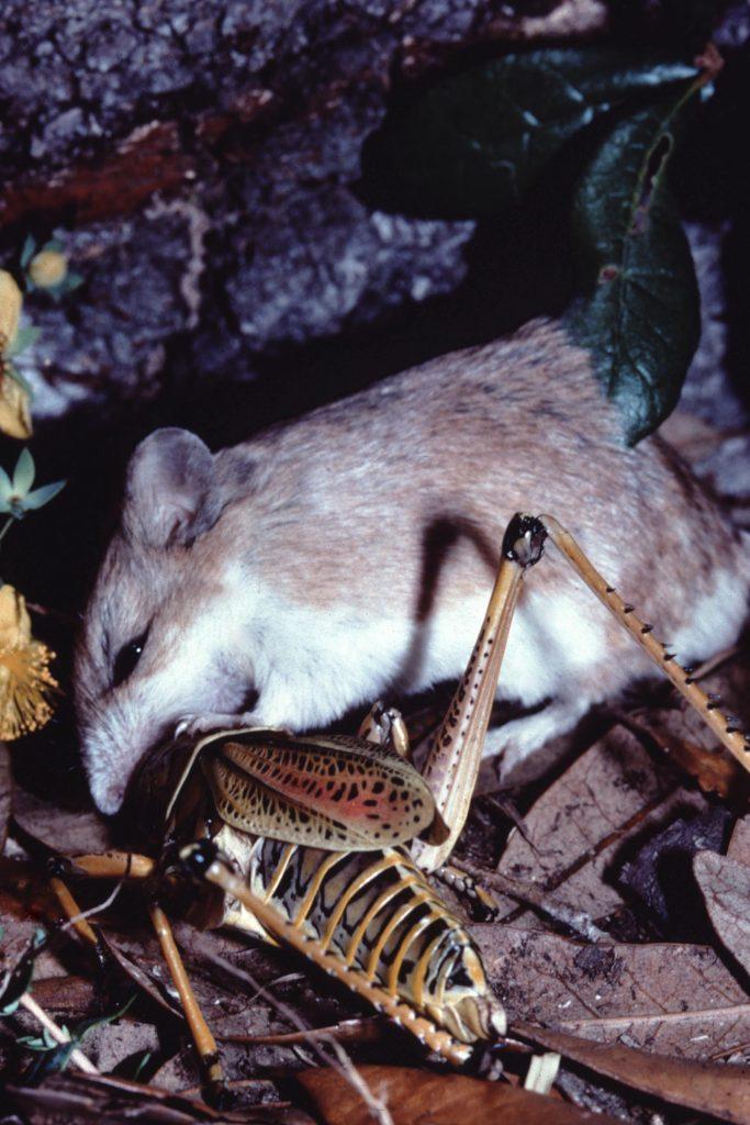 grasshopper mouse eating grasshopper pest control rodent