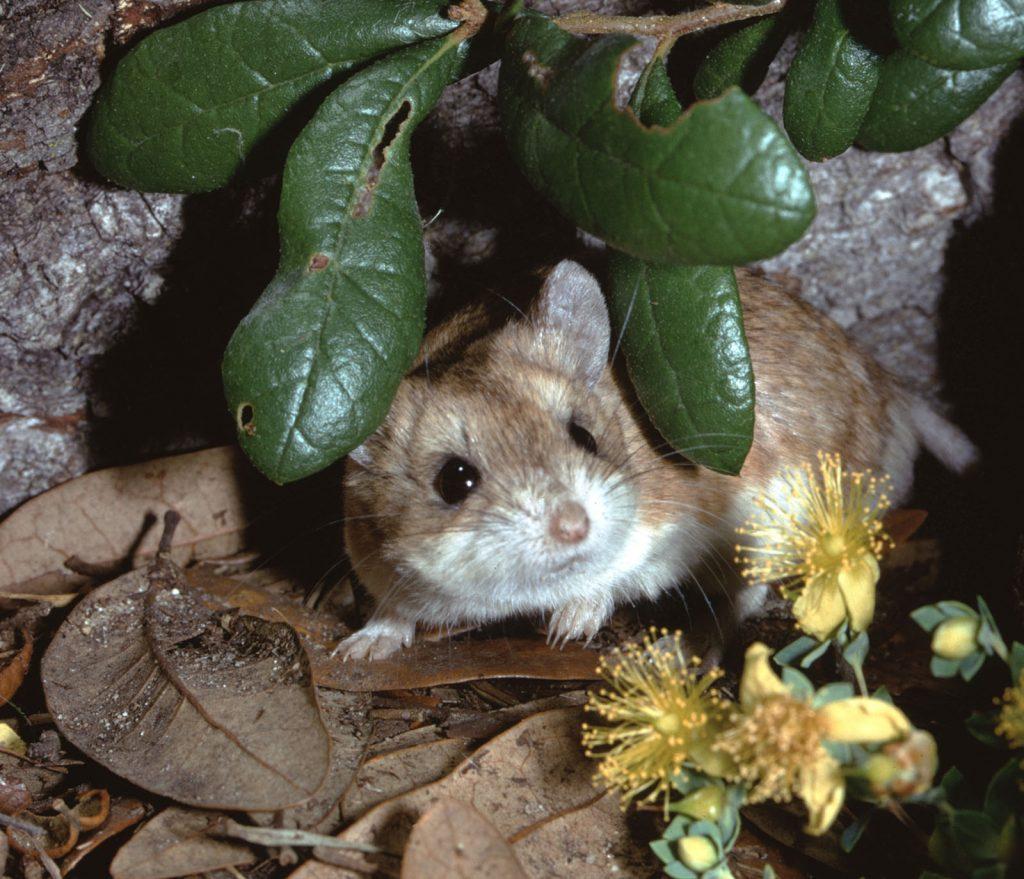 grasshopper mouse hiding in garden