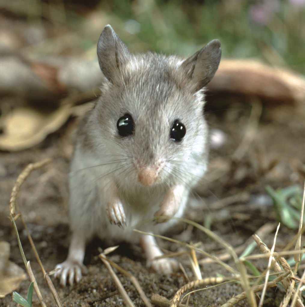 grasshopper mouse control for houses and yards