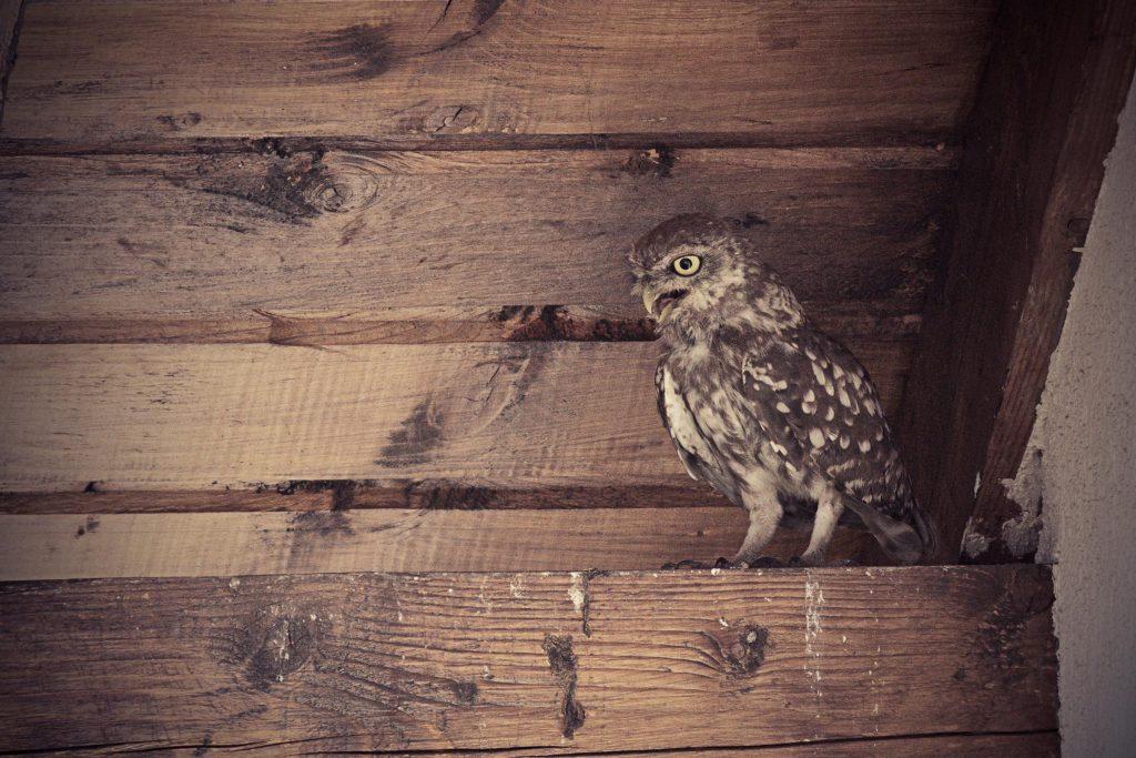 pest control in castle rock owl removal in barn
