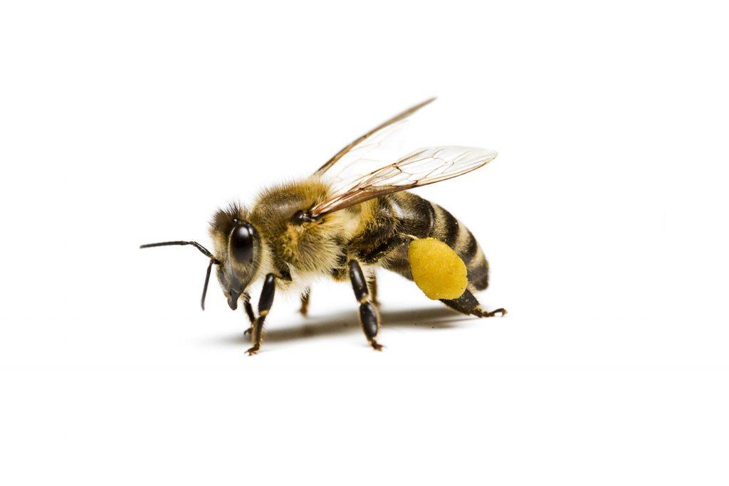 pollen on bees legs