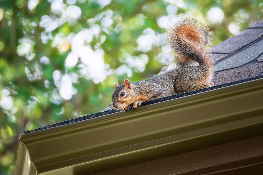 squirrel on roof wildlife pest control castle rock