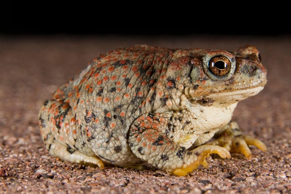 toad for garden pest control