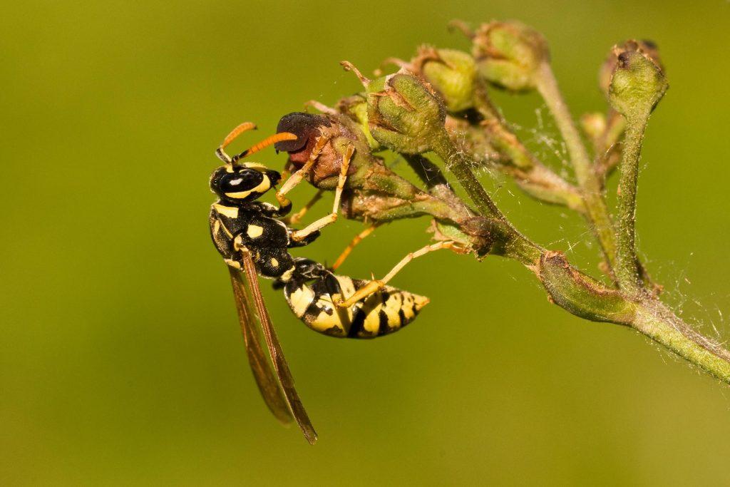 controlling wasps in garden