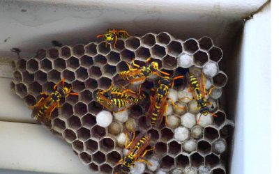 How Do I Control Wasps Around My Home?