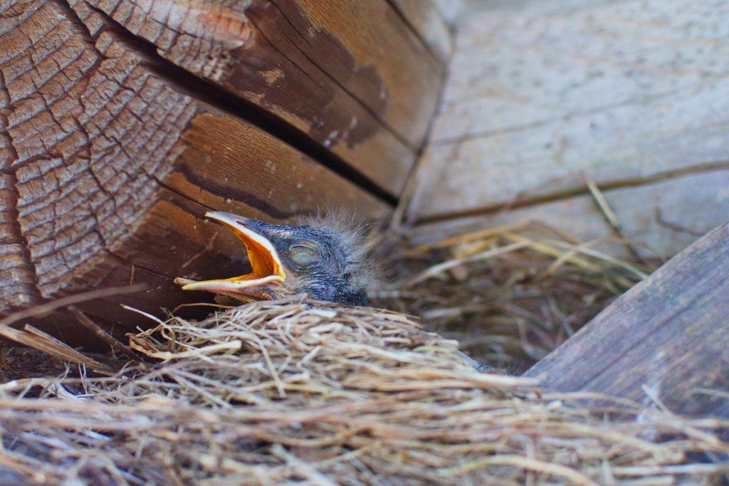 bird in nest around garage Parker wildlife removal