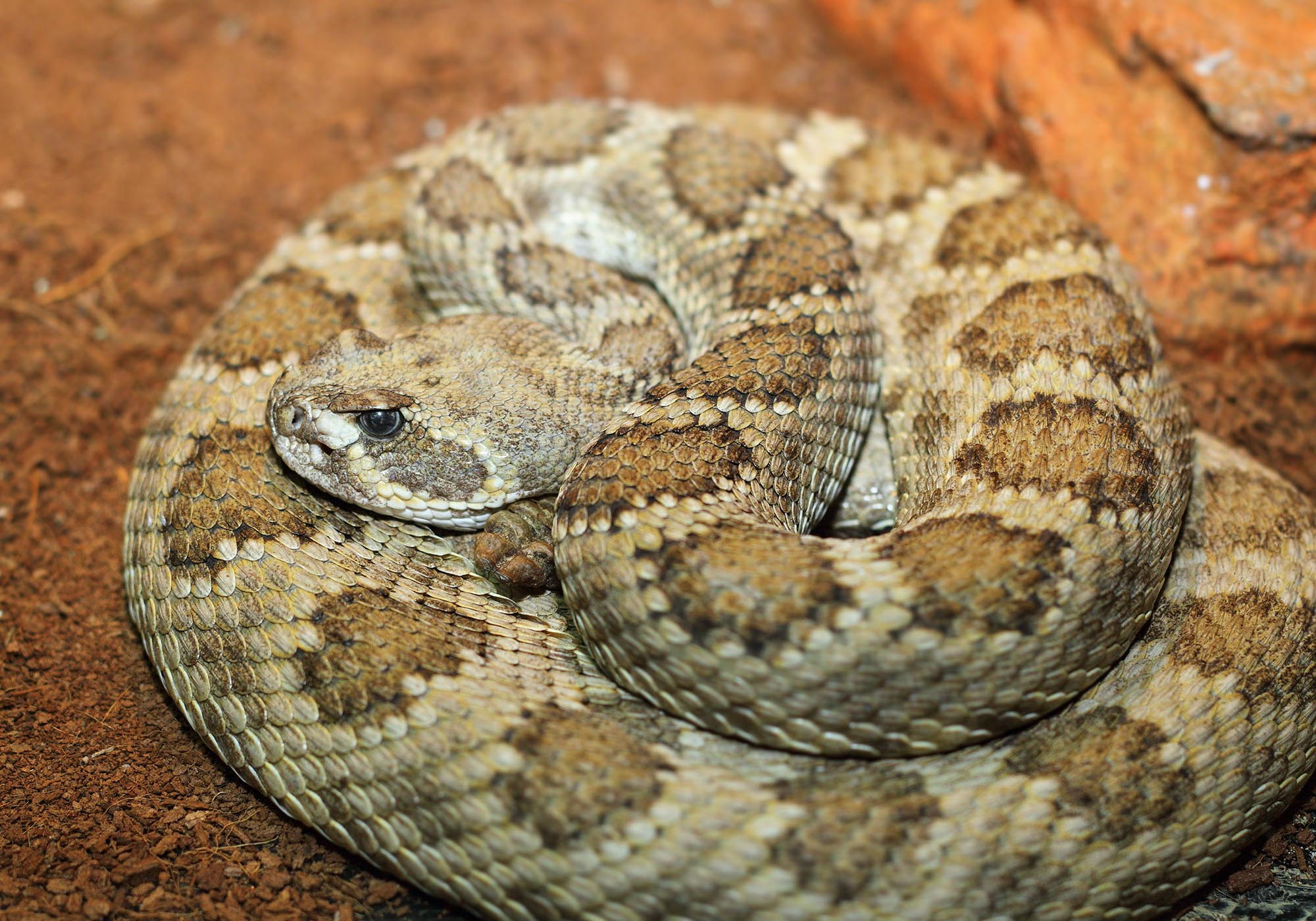 grumpy prairie rattlesnake