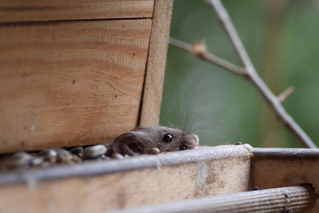 mouse in birdfeeder wildlife control in Parker CO