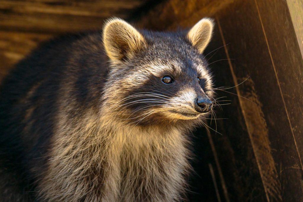 raccoon hiding in attic
