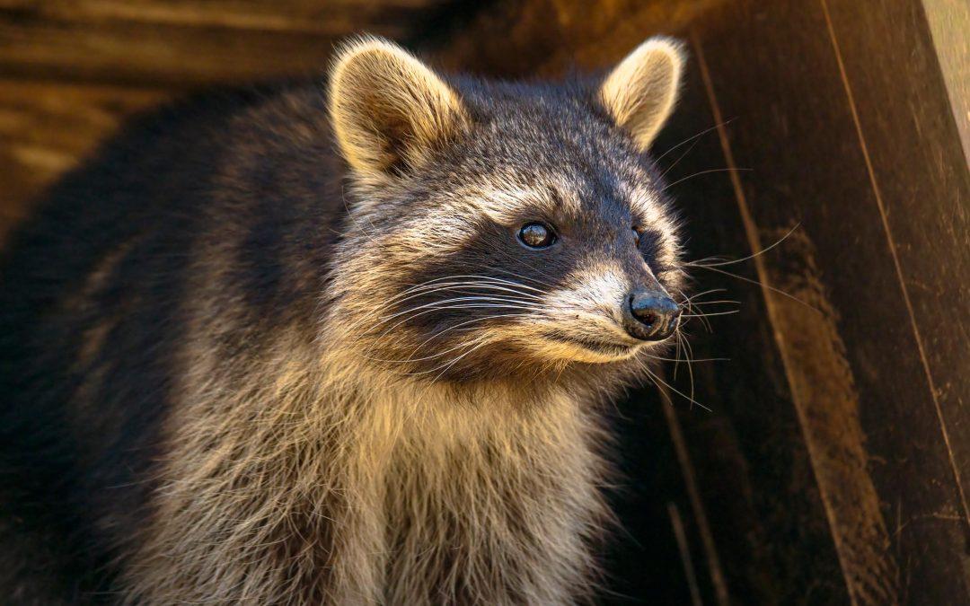 How To Keep Raccoons Away Naturally